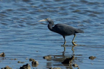 The dark morph form of the Eastern Reef Egret.