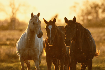 I was out photographing, whilst the sun was just about to set, when a few horses walked over towards me. I could not resist taking a few shots agaist the light. The specks all around the horses are insects highlighted by the light.