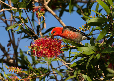 One of the smallest of the Australian birds, the tiny male Scarlet Honeyeater. Seen here feeding on the flowers of the Bottlebrush.