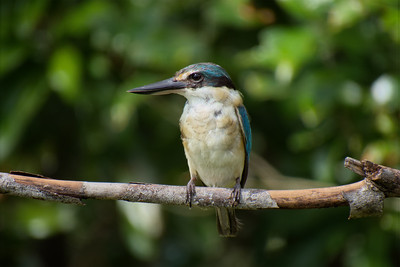 A colourful juvenile male Forest Kingfisher.
