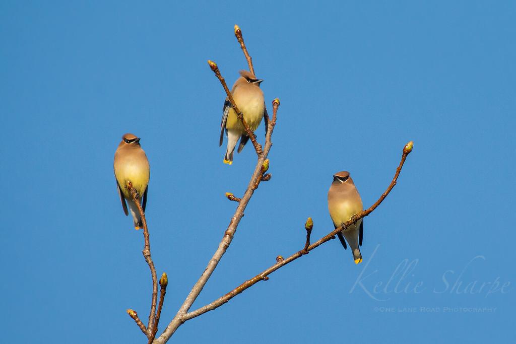 Cedar Waxwings .. TWRA .. Tellico
