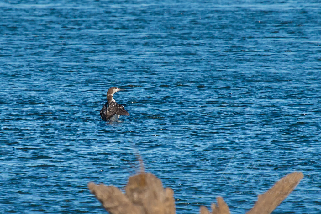 Common Loon at Chota
