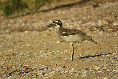 STONE-CURLEW BEACH_131