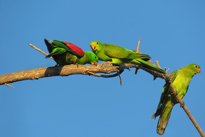 PARROT RED-WINGED_16