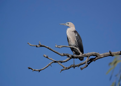 The White-Necked Heron, in a lovely one-legged stance.