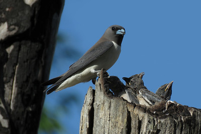 WOODSWALLOW WHITE-BREASTED_66