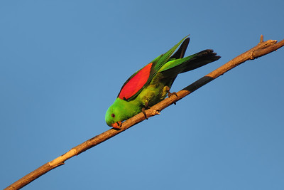 PARROT RED-WINGED M__12