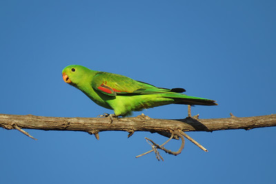 PARROT RED-WINGED_12