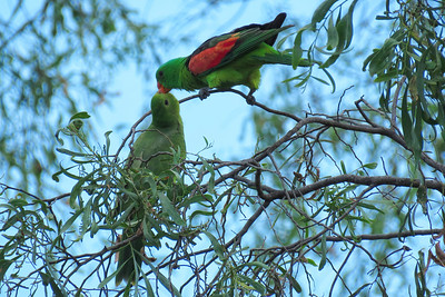 The male Red-winged Parrot feeding a juvenile on Accacia seeds.