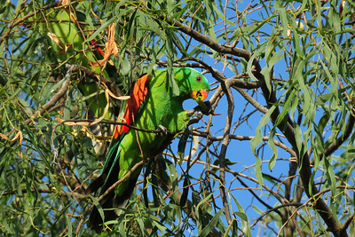 The male Red-winged Parrot feeding on Accacia seeds.