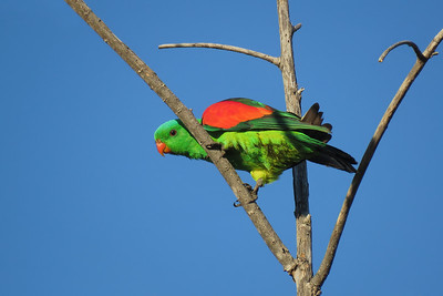 PARROT RED-WINGED M__13