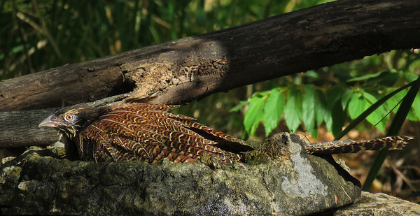 COUCAL PHEASANT_36