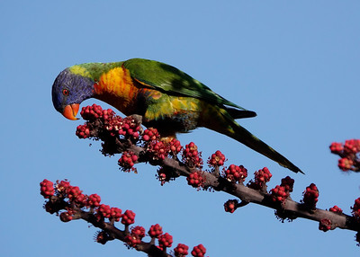 Rainbow Lorikeets feeding on the flowers of the Umbrella Tree. Near our house.