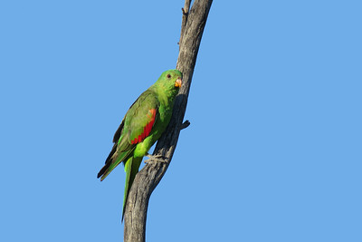 PARROT RED-WINGED F_01