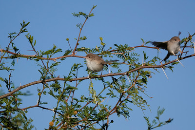 The female White-Winged Fairy-Wren. She looks rather plain compared to her colourful partner.