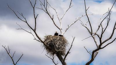 Bald eagle with eaglet