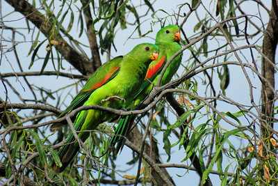 PARROT RED-WINGED D_02