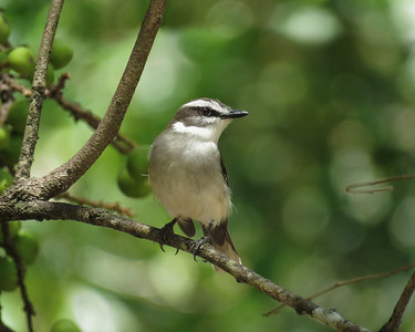 ROBIN WHITE-BROWED_25