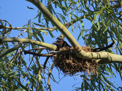 The Spangled Drong nest, with three rather hungry nestlings. Just s few steps from our house. They seem to nest in the same tree on the same branch, year after year.