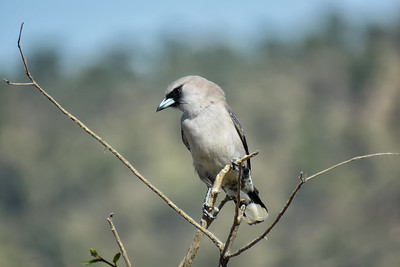 WOODSWALLOW BLACK-FACED_11