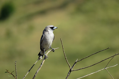 WOODSWALLOW BLACK-FACED_06