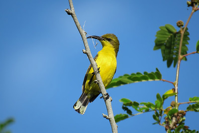 The tiny female Sunbird with nesting material. The female Sunbird collecting nesting material.