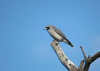 WOODSWALLOW BLACK-FACED_12