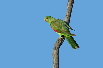 PARROT RED-WINGED F_02