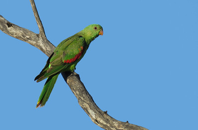PARROT RED-WINGED F_08