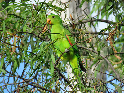 PARROT RED-WINGED J_06