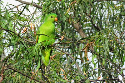 PARROT RED-WINGED J_05