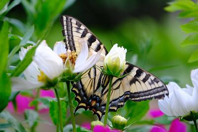 Swallowtail butterfly peek-a-boo