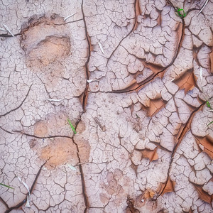 Black bear and coyote tracks on a drought-stricken stream bed