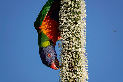 Rainbow Lorikeet feeding on the flower stalk of the Grasstree in the backyard.