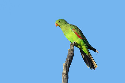 PARROT RED-WINGED F_05