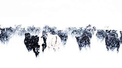 Steers in snowstorm