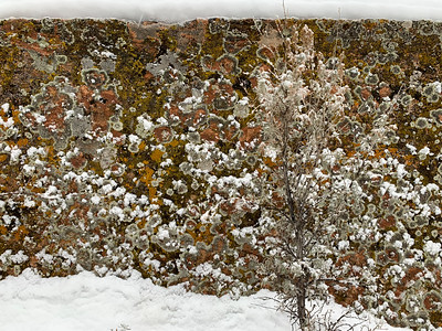 Lichens in snow