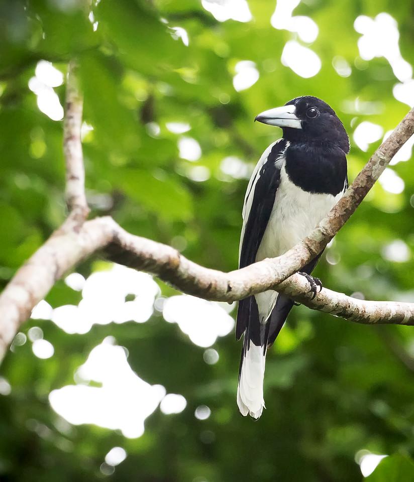 Hooded Butcherbird (Cracticus cassicus).