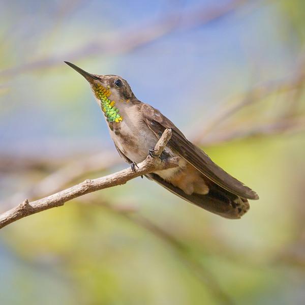 Ruby Topaz Hummingbird, juvenile (Chrysolampis mosquitus).