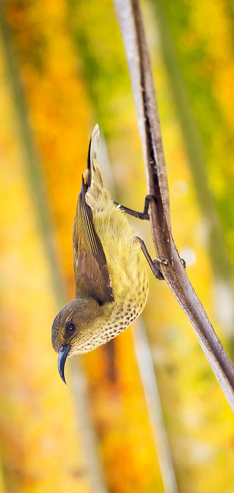Souimanga Sunbird, female (Cinnyris sovimanga).