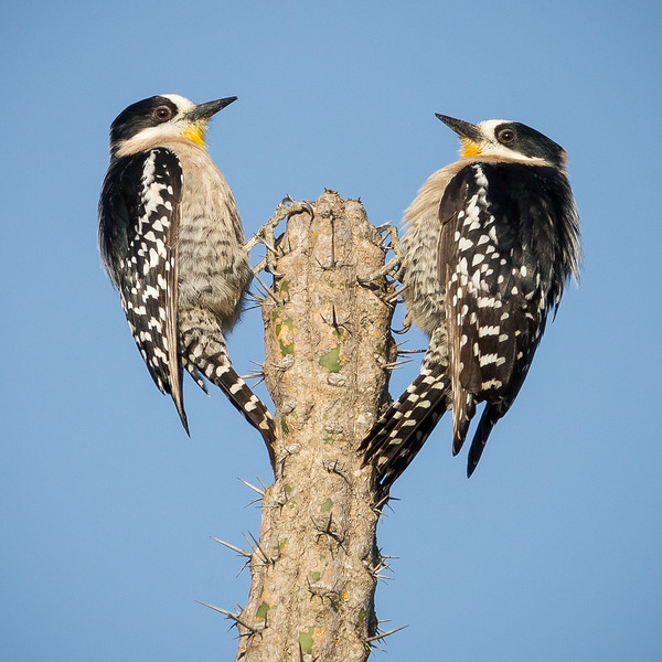 White-fronted Woodpecker (Melanerpes cactorum).