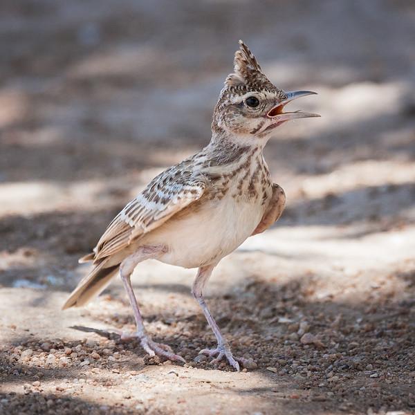 Somali Crested Lark (Galerida cristata somaliensis).