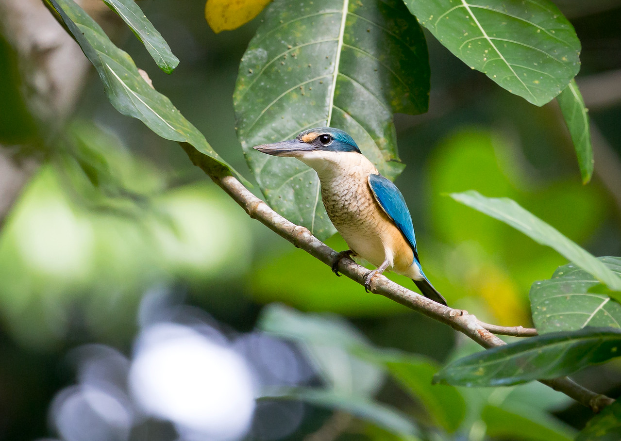 Collared Kingfisher (Todiramphus chloris).