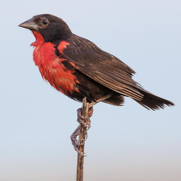 Red-breasted Meadowlark (Leistes militaris).