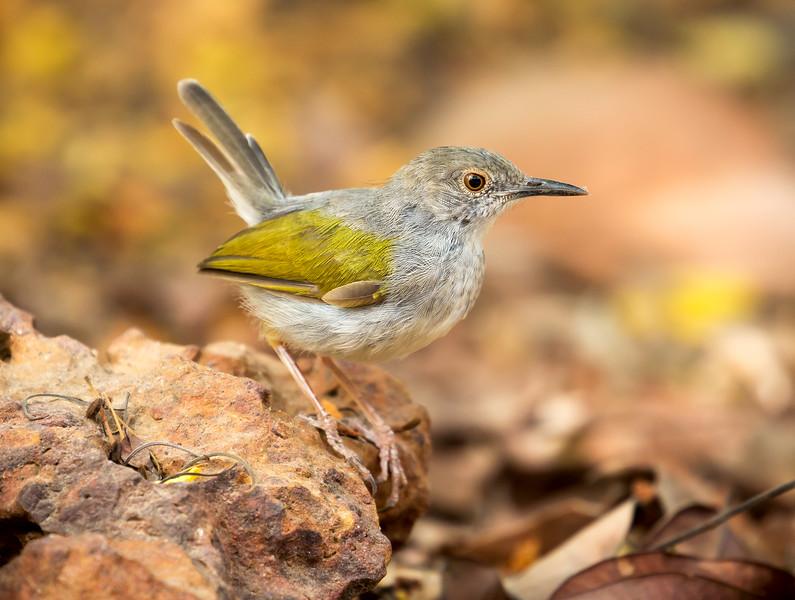 Grey-backed Camaroptera (Camaroptera brevicaudata).