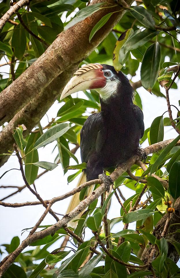 Blyth's Hornbill, female (Rhyticeros plicatus).