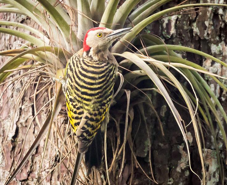 Hispaniolan Woodpecker, male (Melanerpes striatus).