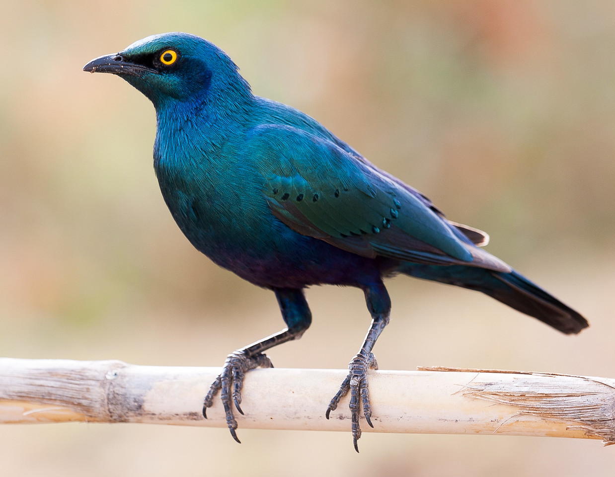 Greater Blue-eared Glossy-Starling (Lamprotornis chalybaeus).