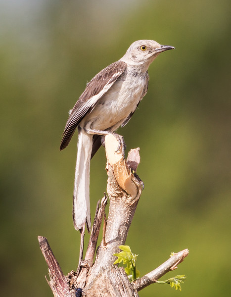 Northern Mockingbird (Mimus polyglottos).