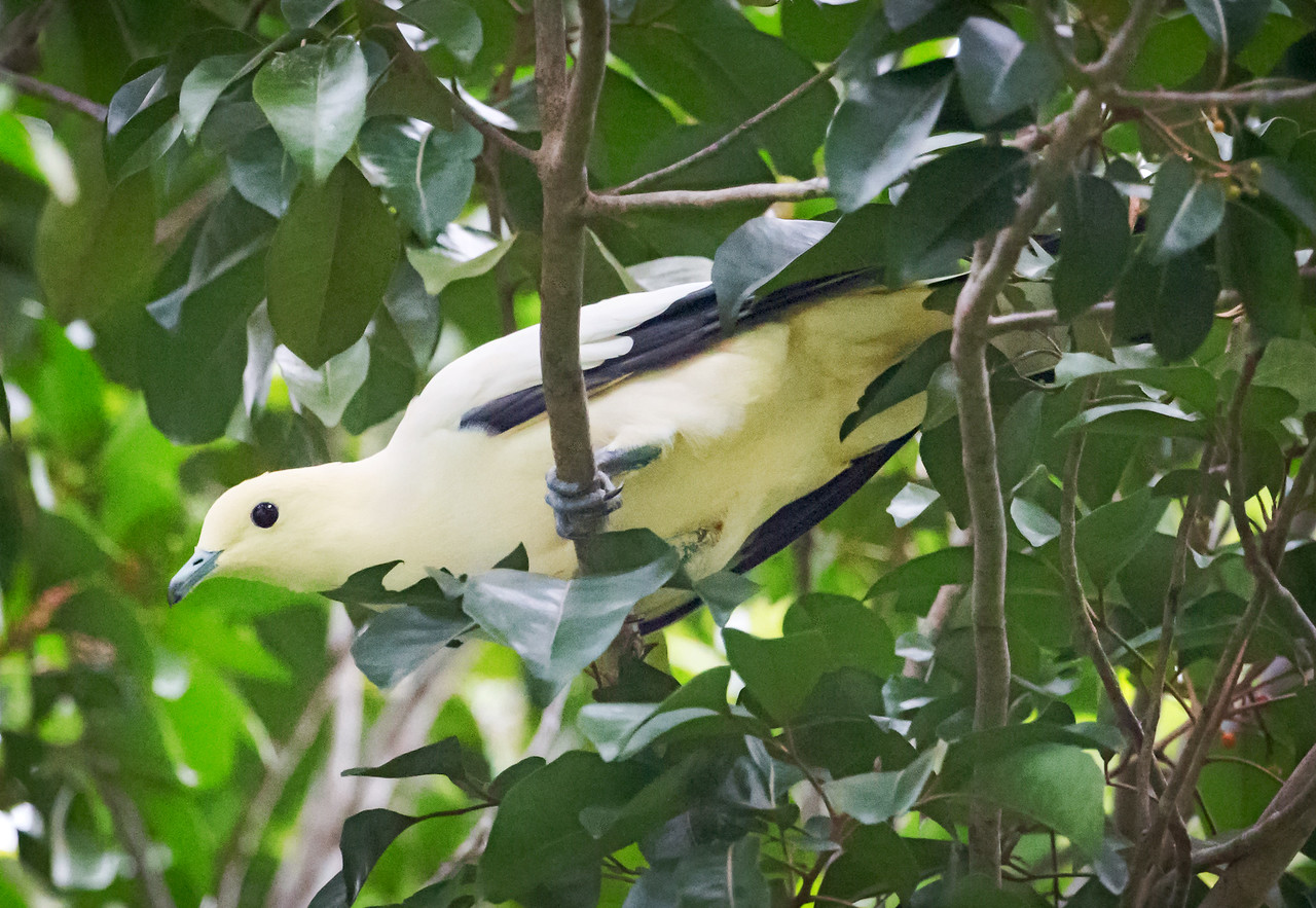 Silver-tipped Imperial Pigeon (Ducula luctuosa).